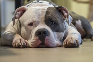 When Will Legislators Learn BSL is Not The Answer?