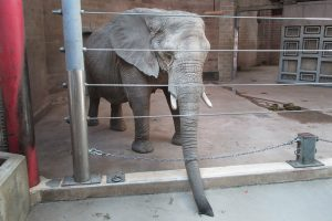 How zoos harm elephants. Legal help for animal advocacy.