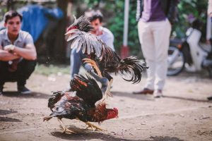 Exposing and closing cockfighting operations